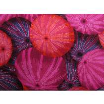 Philip Jacobs Sea Urchins- Red